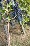 Schwarze Trauben im Weinberg Stockfotos