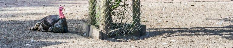Schwarze Truthahnvogelfahne groß für Website usw. Stockfoto