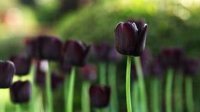 Schwarze Tulpe Stockfotos