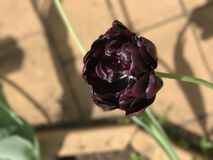 Schwarze Tulpe Lizenzfreies Stockfoto