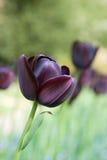 Schwarze Tulpe im forground - mit anderen nach Lizenzfreie Stockfotografie
