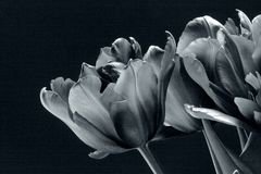 Schwarze Tulpen in Schwarzweiss Stockfotos