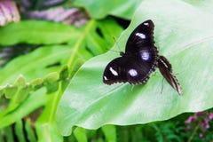 Schwarze Tupfen des Schmetterlinges Lizenzfreie Stockfotografie