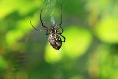 Schwarze u. gelbe Garten-Spinne Lizenzfreie Stockbilder