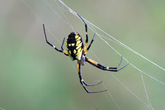 Schwarze u. gelbe Garten-Spinne Lizenzfreies Stockbild