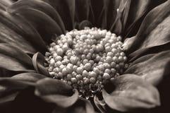 Schwarze u. weiße Blume lizenzfreies stockfoto