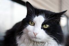 Schwarze u. weiße Katze Lizenzfreie Stockfotografie