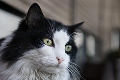 Schwarze u. weiße Katze Lizenzfreies Stockfoto