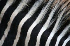 Schwarze u. weiße Streifen auf Zebra Stockbilder