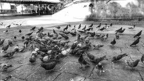 Schwarze u. weiße Tauben Stockbild