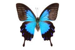 Schwarze und blaue Basisrecheneinheit Papilio Ulysses getrennt Stockbilder