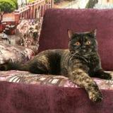 Schwarze und braune Katze gelehnt über dem Fuß mit rosa Sofa stockfoto