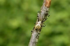 Schwarze und gelbe gestreifte Spinne in einem Baum Lizenzfreie Stockbilder