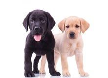 Schwarze und gelbe labrador retriever-Welpen Stockbilder