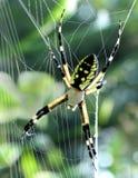 Schwarze und gelbe Spinne Stockfotografie