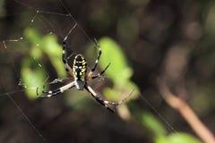 Schwarze und gelbe Spinne Stockfotos