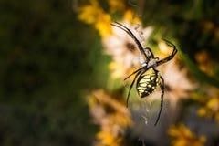 Schwarze und gelbe Spinne auf seinem Netz Stockfotos