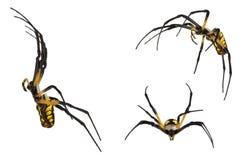 Schwarze und gelbe Spinne auf Weiß Stockfotos