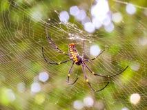 Schwarze und gelbe Spinne und schwarzer langer Beine Bokeh-Hintergrund Lizenzfreie Stockfotos