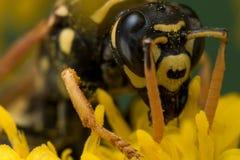 Schwarze und gelbe Wespe, die Blütenstaub extrahiert lizenzfreie stockbilder