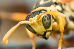 Schwarze und gelbe Wespe mit grünen Augen schaut unten stockfotos