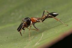 Schwarze und orange Ameisennachahmerspinne Lizenzfreie Stockfotografie