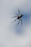 Schwarze und orange Spinne Nephila Inaurata auf ihrem Netz in Réunion I Lizenzfreie Stockfotografie