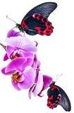 Schwarze und rote tropische Schmetterlinge Lizenzfreies Stockbild
