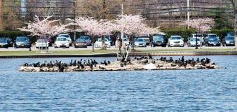 Schwarze Vögel auf einer kleinen Insel in einem See Lizenzfreie Stockfotos