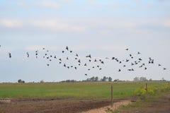 Schwarze Vögel, die über das Land fliegen Stockfotos