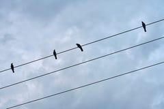 Schwarze Vögel, die auf elektrischer Leitung sitzen Stockfoto