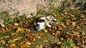 Schwarze weiße Katze Lizenzfreies Stockfoto