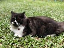 Schwarze weiße Katze schaut vorwärts Lizenzfreie Stockfotos