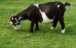 Schwarze weiße Ziege Lizenzfreies Stockbild