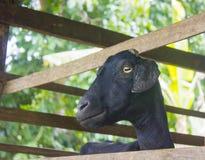 Schwarze weibliche Ziege in einem Stift Stockfoto