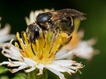 Schwarze Wespe auf Blume mit dem Blütenstaub Lizenzfreies Stockfoto