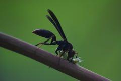 Schwarze Wespe, die eine Wanze in den amazonas Peru tötet Lizenzfreie Stockfotos