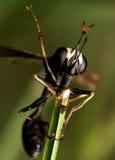 Schwarze Wespe mit defektem Flügel auf Grünpflanze lizenzfreies stockfoto