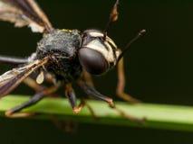 Schwarze Wespe mit defektem Flügel auf Grünpflanze stockbilder