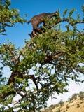 Schwarze Ziege, die auf einen Baum steht Stockbild