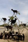 Schwarze Ziegen in einem Arganbaum Stockbilder
