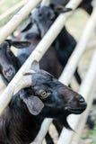 Schwarze Ziegen hinter Zaun stockfotografie