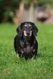 Schwarzer älterer Dachshundhund draußen Stockbild