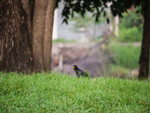 Schwarzer Acridotheres-Vogel Stockfotos