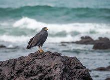 Schwarzer Adler auf einem Felsen Drake Bay Views um Costa Rica Stockbilder