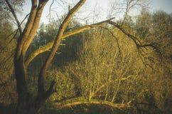 Schwarzer Adler-Baum abgedeckt durch Sonnenlicht Stockfotografie