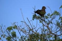 Schwarzer Adler, Uganda, Afrika Stockfotografie