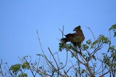 Schwarzer Adler, Uganda, Afrika Stockfotos
