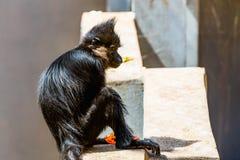 Schwarzer Affe Stockfotografie