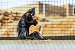 Schwarzer Affe Stockbild